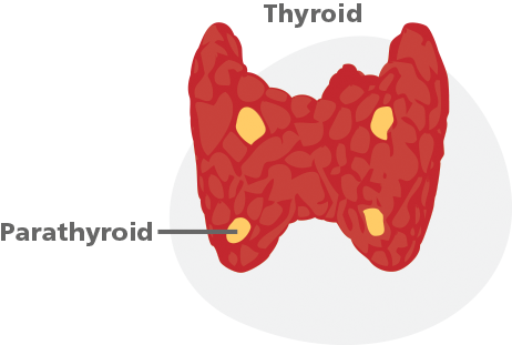 metabolic leader | parathyroid, Skeleton